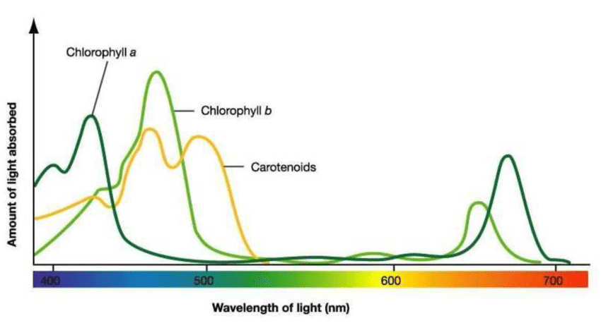 Absorption spectra of chlorophyll LED grow light